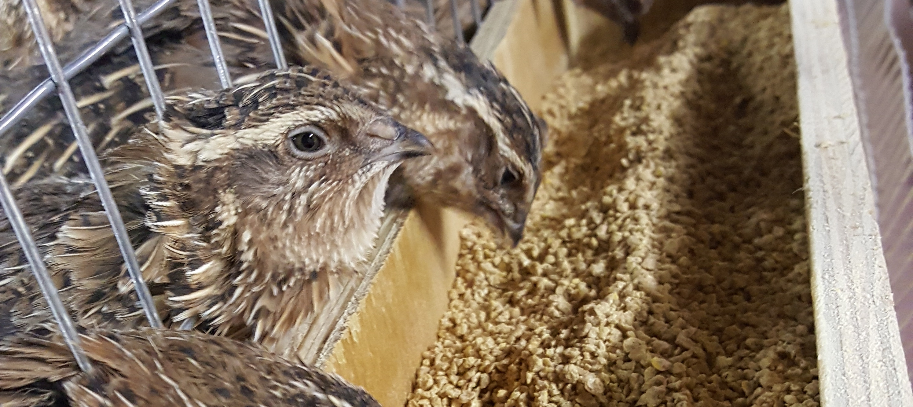 What feed to use in quail farming