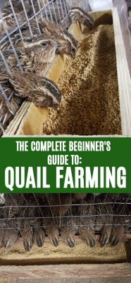 How To Get Started With Quail Farming Like A Homesteader