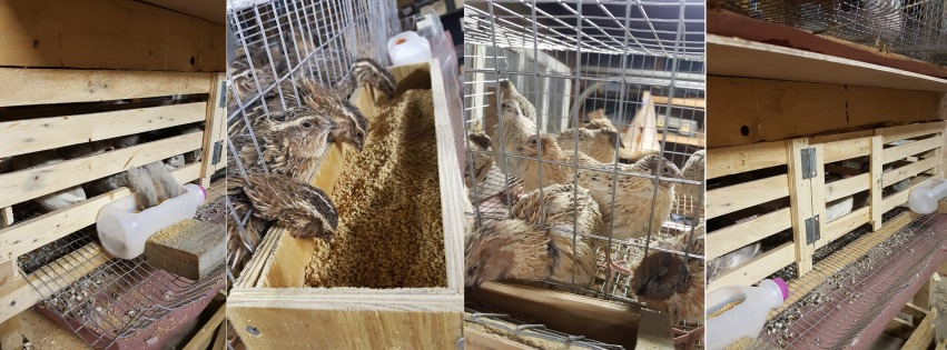 What type of cage should you use in a quail farm